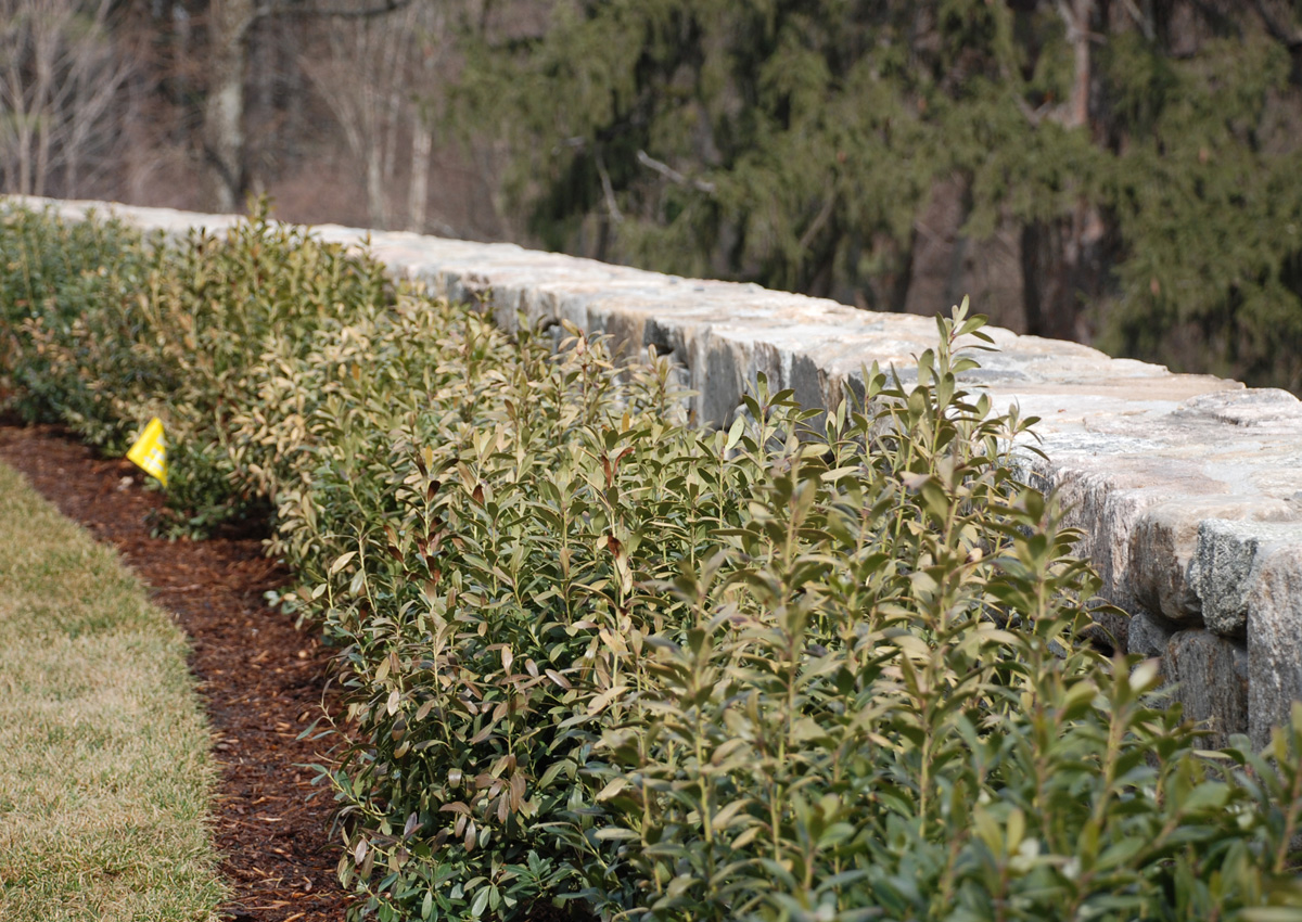 Stone Wall and Hedgerow